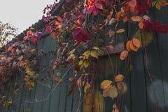Uvas selvagens na cerca de madeira velha imagem de stock royalty free