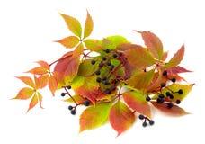 Uvas selvagens torcidas da planta Imagem de Stock