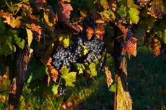 Uvas suculentas bonitas na queda com as folhas do vermelho e do amarelo Moravia sul República checa Foto de Stock Royalty Free