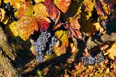Uvas suculentas bonitas na queda com as folhas do vermelho e do amarelo Moravia sul República checa Imagens de Stock