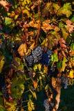 Uvas suculentas bonitas na queda com as folhas do vermelho e do amarelo Moravia sul República checa Foto de Stock