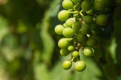 Uvas Unripe Foto de Stock