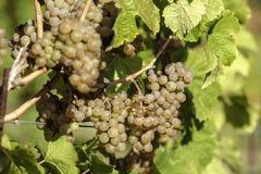 Uvas unripe verdes Fotografia de Stock