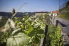Uvas unripe verdes Imagens de Stock Royalty Free