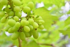 Uvas verdes Imagem de Stock