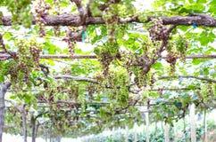 Uvas verdes Imagens de Stock