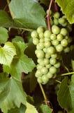 Uvas verdes Fotos de Stock Royalty Free