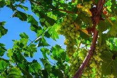 Uvas verdes Foto de archivo libre de regalías