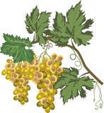Uvas verdes aisladas en el fondo blanco Fotografía de archivo