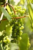 Uvas verdes - cenário, paisagem Imagem de Stock Royalty Free