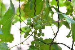 Uvas verdes del racimo imagenes de archivo