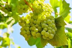 Uvas verdes del racimo en cultivar un huerto del sauce Fotos de archivo libres de regalías