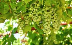 Uvas verdes del racimo en cultivar un huerto del sauce Fotografía de archivo
