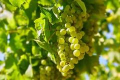Uvas verdes del racimo en cultivar un huerto del sauce Imágenes de archivo libres de regalías
