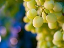 Uvas verdes delante de un fondo borroso Fotos de archivo