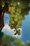 Uvas verdes em uma videira imagem de stock royalty free