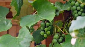 Uvas verdes en cierre de la vid para arriba almacen de video