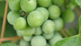 Uvas verdes en cierre de la vid para arriba almacen de metraje de vídeo