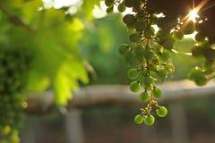 Uvas verdes en la salida del sol Fotografía de archivo libre de regalías