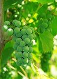 Uvas verdes en la vid Fotografía de archivo libre de regalías