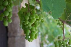 Uvas verdes en una vid Fotos de archivo