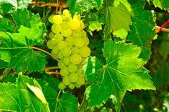 Uvas verdes en vid Imagenes de archivo
