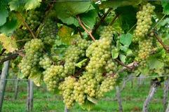Uvas verdes en yarda del vino en otoño Imágenes de archivo libres de regalías
