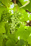 Uvas verdes frescas Fotografia de Stock