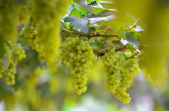 Uvas verdes frescas foto de archivo libre de regalías