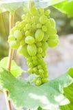 Uvas verdes frescas en vid Fotografía de archivo