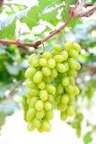 Uvas verdes frescas en viñedo Imagenes de archivo