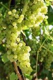 Uvas verdes frescas na videira Imagens de Stock Royalty Free