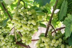 Uvas verdes frescas na videira Foto de Stock Royalty Free