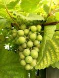 Uvas verdes frescas no jardim Fotos de Stock