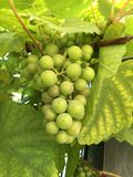 Uvas verdes frescas no jardim Fotografia de Stock Royalty Free
