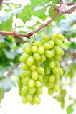 Uvas verdes frescas no vinhedo Imagens de Stock