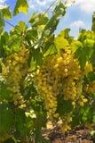 Uvas verdes jugosas maduras Imágenes de archivo libres de regalías