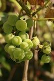 Uvas verdes maduras en vid Foto de archivo