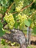 Uvas verdes maduras na videira foto de stock