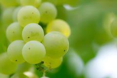 Uvas verdes na natureza Macro Imagens de Stock