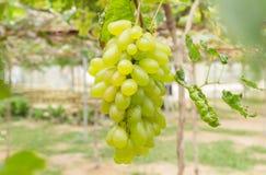 Uvas verdes no centro do jardim ou do vinhedo da uva do quadro Imagem de Stock Royalty Free