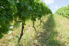 Uvas verdes no dia de verão do vinhedo Fotos de Stock Royalty Free