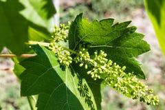 Uvas verdes, no maduras, jovenes en el viñedo, uvas, vides crecientes en la yarda imagen de archivo