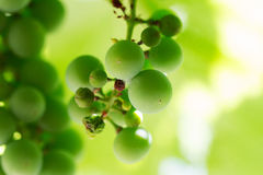 Uvas verdes no ramo Fotos de Stock Royalty Free