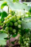 Uvas verdes novas bonitas no verão Foto de Stock