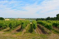 Uvas verdes que crescem em videiras no vinhedo francês Fotografia de Stock Royalty Free