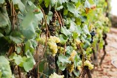 Uvas verdes que penduram em um vinhedo fotografia de stock