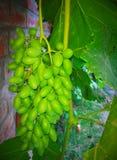 Uvas verdes y x28; Gresh Grapes& x29; fotografía de archivo