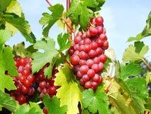 Uvas vermelhas Foto de Stock