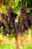 Uvas vermelhas Imagem de Stock Royalty Free